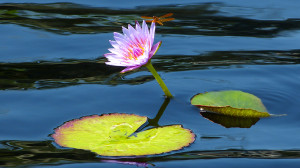 Pondflower with Dragonfly