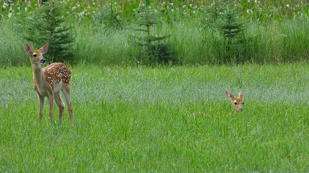 Summer Fawns